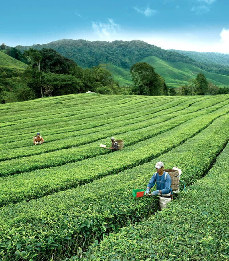 Tea farmers working in BOH Plantations